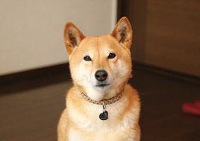 柴犬(モモちゃん)
