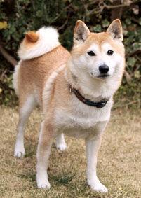 柴犬(さくらちゃん)の体験談
