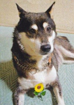 柴犬(テンちゃん)の体験談