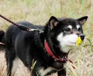 柴犬(ハナちゃん)の体験談