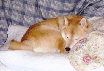 柴犬(吾郎くん)の体験談