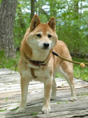 柴犬 (モモちゃん)の体験談