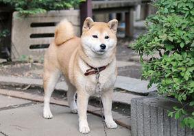 柴犬(花ちゃん)