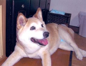 柴犬(きゅうちゃん)の体験談
