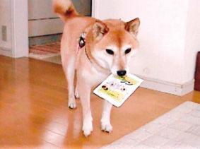柴犬(古都ちゃん)