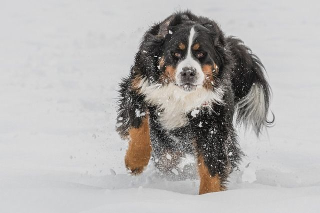 bernese-mountain-dog-3202019_640