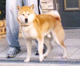 柴犬(リキくん)の体験談