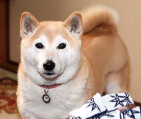 柴犬(華ちゃん)の体験談