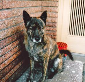 甲斐犬のミックス犬(虹ちゃん)の体験談