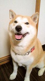 柴犬(こすけくん)の体験談