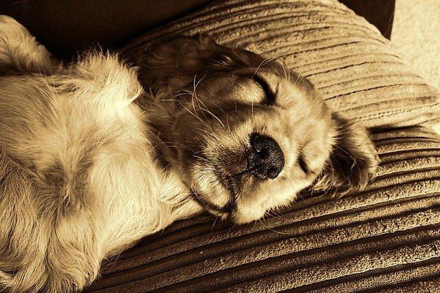 犬の咳や鼻水は風邪なの?ケンネルコフの症状と予防方法