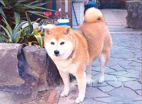 柴犬(ラヴちゃん)