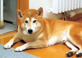 柴犬(マブくん)の体験談