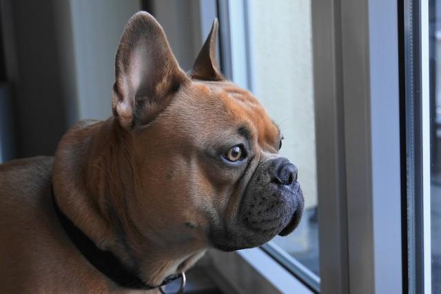french-bulldog-4019784_960_720
