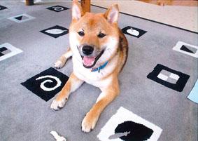 柴犬(北斗くん)の体験談