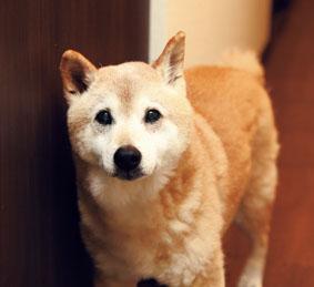 柴犬(ハチくん)